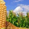 Современные агротехнические методы выращивания кукурузы
