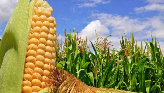 Гибридные линии кукурузы